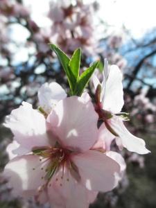 flor de almendro6_casa rural shariqua